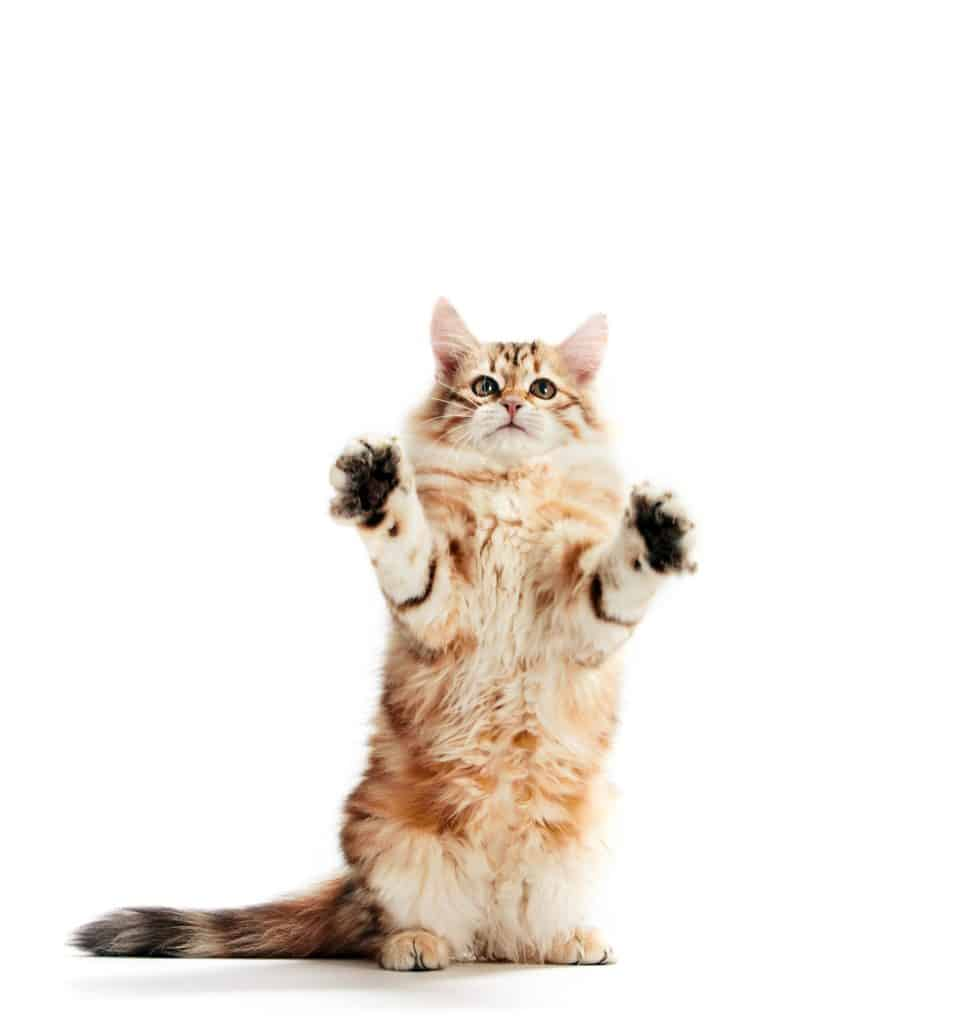 A funny kitten standing showing his paws. Isolated. Siberian cat